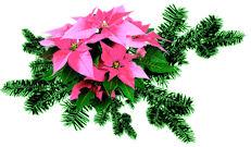 vianocna ruza